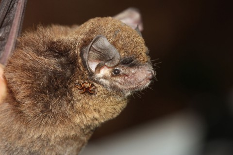 Bent winged bat Miniopterus