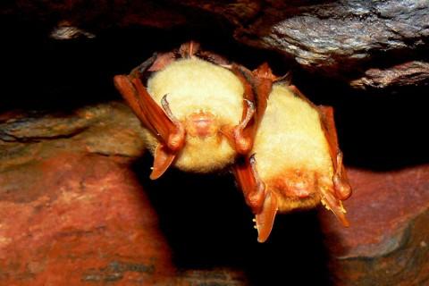 Myotis formosus