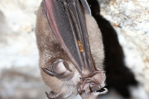 Rufous horseshoe Bat