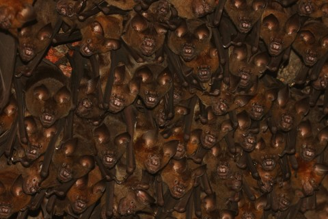 Colony of Indian roundleaf bats