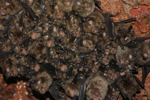 Colony of Rufous horse shoe bats