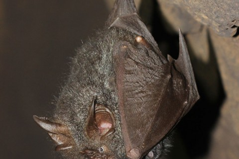 Woolly horseshoe bat