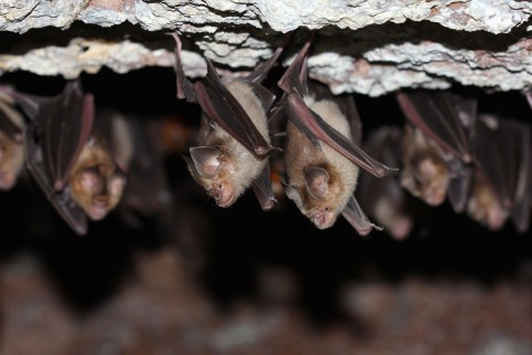 Colony of leaf nosed bats
